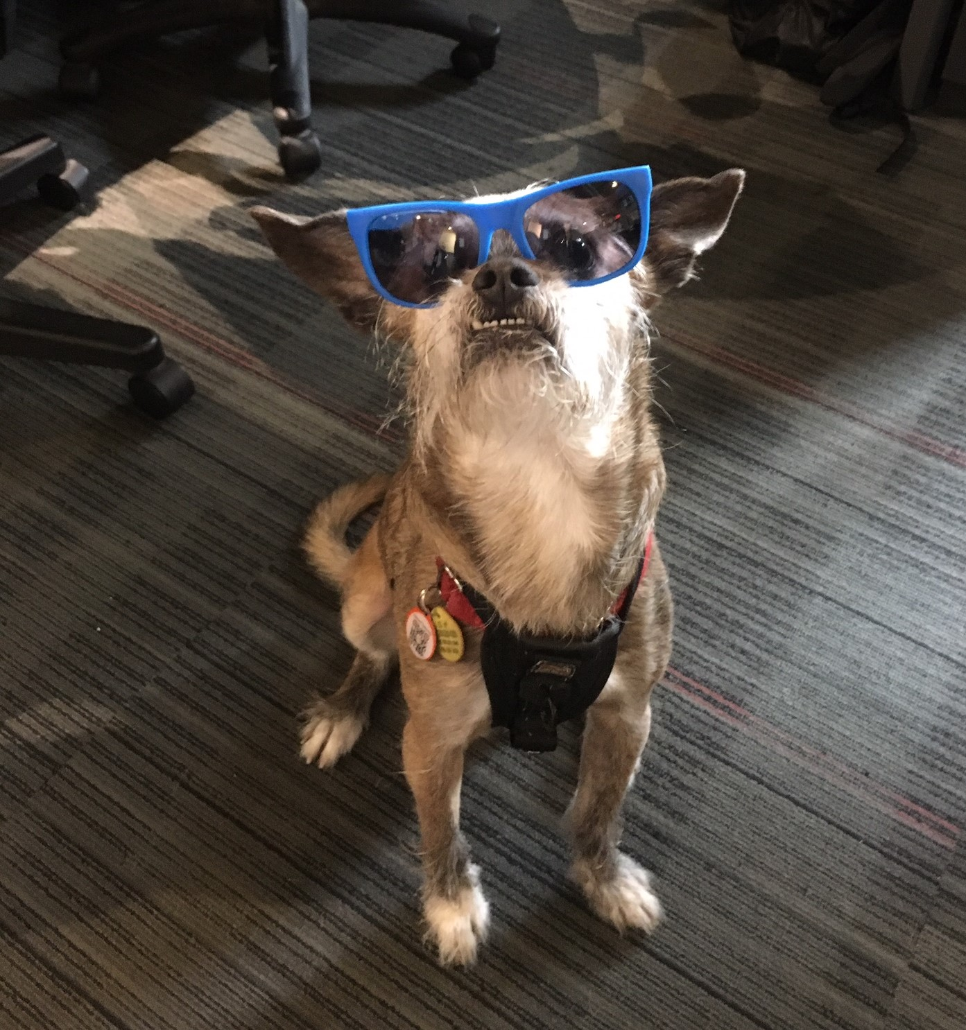 Mr Scruffles, a frequent Presagia dog, rocking some sunglasses
